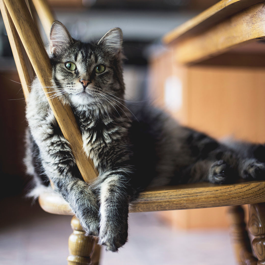 Cat on a Chair - Pooler Veterinary Hospital