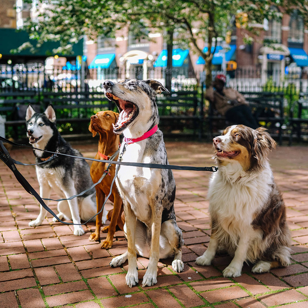 Group of Dogs with a Dog Walker - Pooler Veterinary Hospital